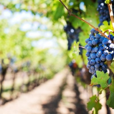 The Marches' wine guide
